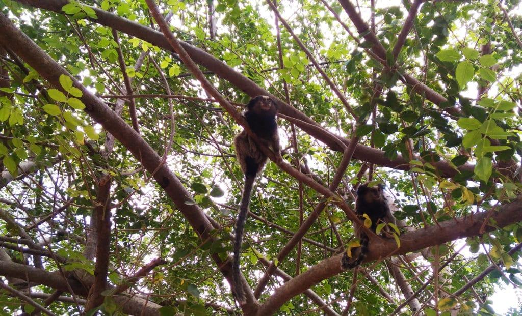 Macacos na ârvore na Chapada diamantina no Brasil