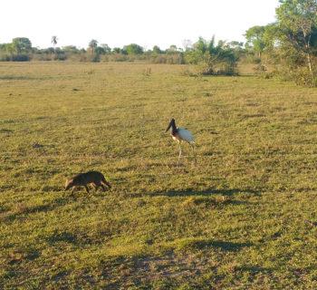 4x4 pantanal tuiuiu e lobinho