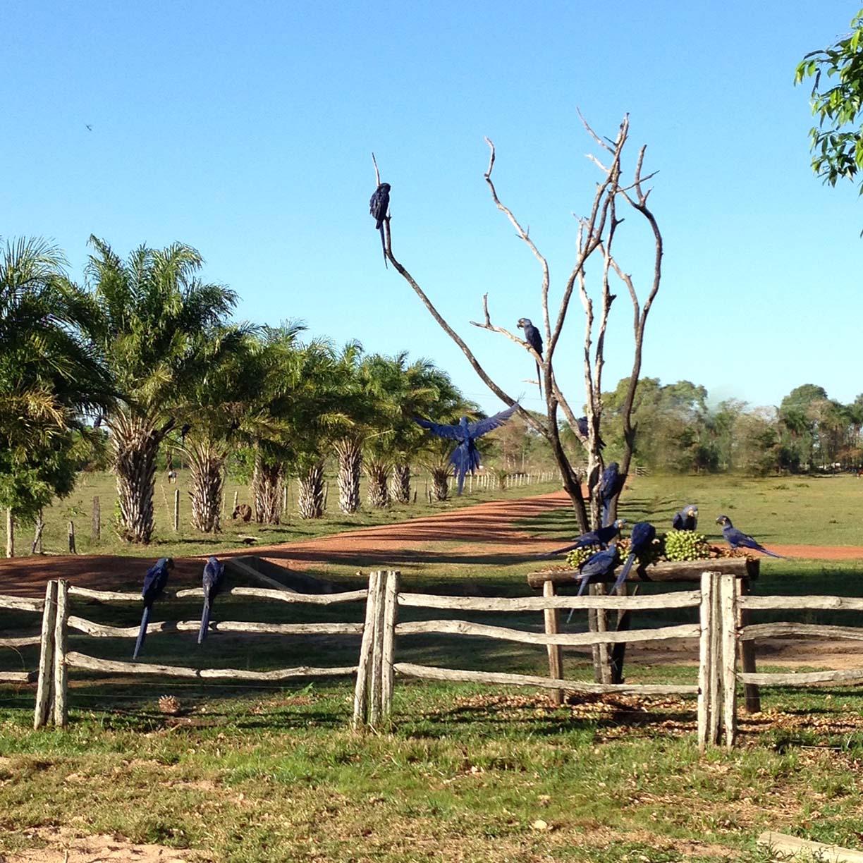 araras azuis no pantanal pousada aguape guia do estrangeiro