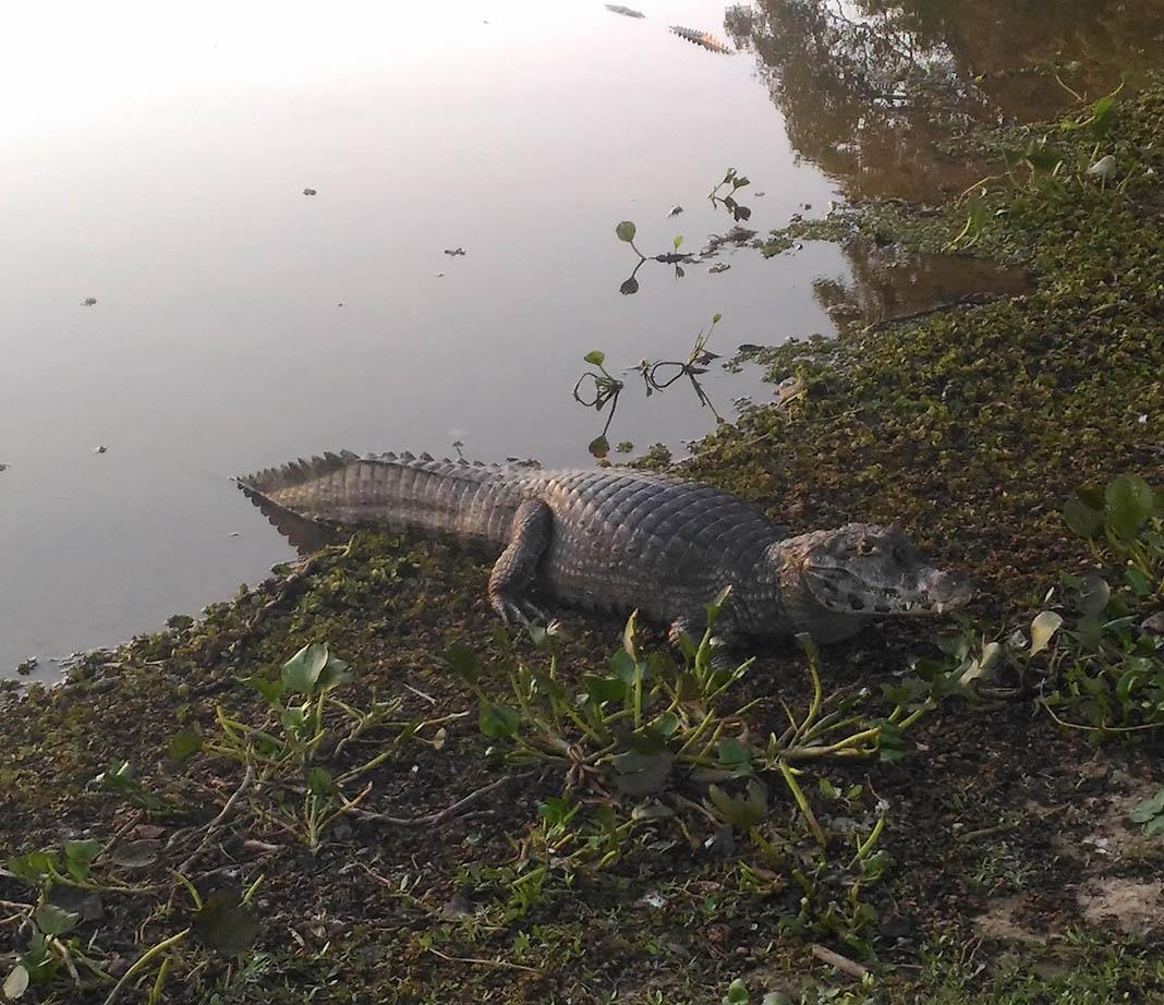 jacare na lagoa pantanal passeio 4x4